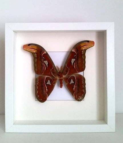 Attacus-Atlas-(man)